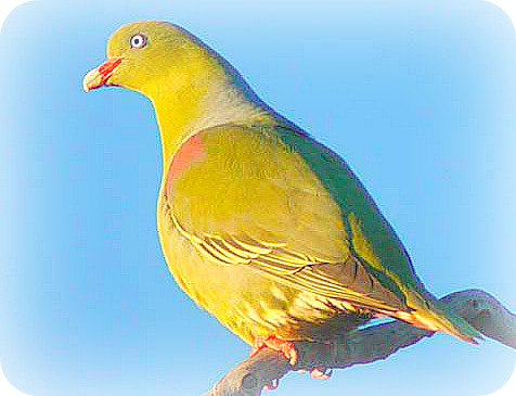 Uganda Birding Safari Guide: The African Green Pigeon