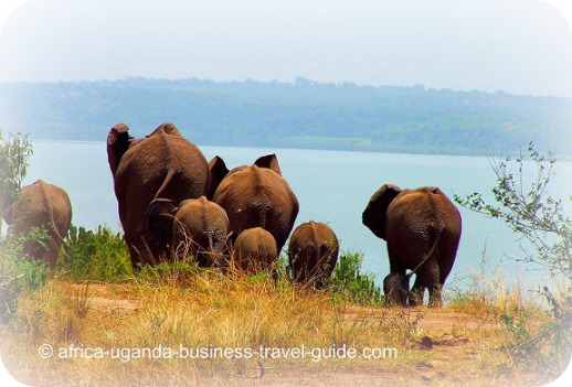 Elephants in a Uganda National Park, Africa