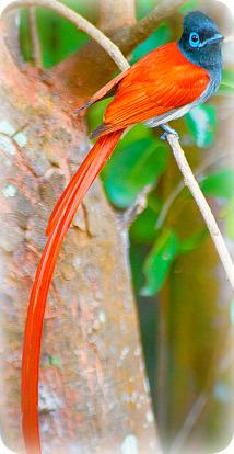 Uganda Birding Safari Guide: AFRICAN PARADISE FLYCATCHER