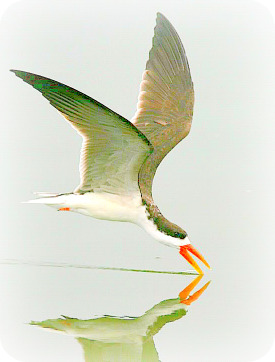 Uganda Birding Safari Guide: African Skimmer