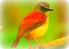 Uganda Birding Safari Guide: ALETHE