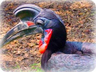 Uganda Bird Guides: Abyssinian Ground Hornbill