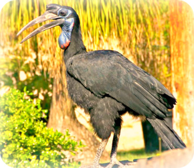 Uganda Bird Guides: Abyssinian Ground Hornbill