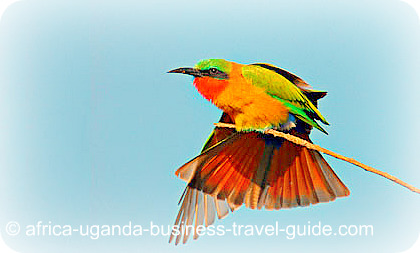 Africa Uganda Birding Red throated Bee Eater