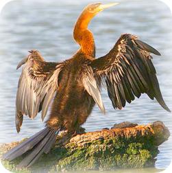 Uganda Bird Guides: The African Darter