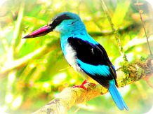 Uganda Bird Guides: The African Dwarf Kingfisher