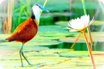 Uganda Bird Guides: African Jacana