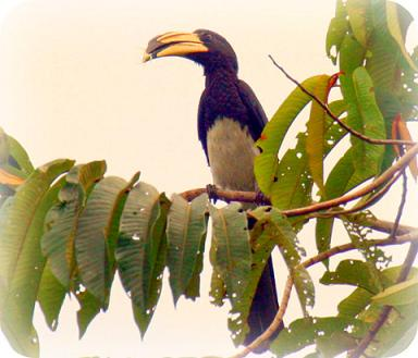 Uganda Bird Guides: The African Pied Hornbill