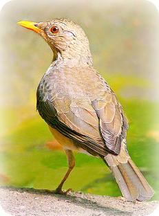 Uganda Birding Safari Guide: African Thrush