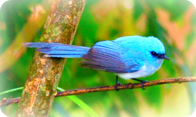 Uganda Bird Guides: The African blue Flycatcher