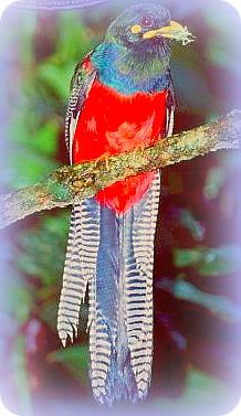 Uganda Birding Safari Guide: BAR-TAILED TROGON