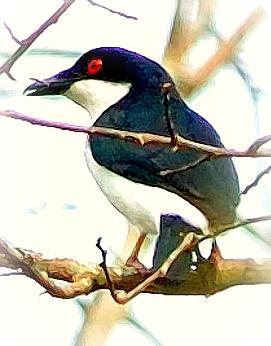 Uganda Birding Safari Guide: BLACK AND WHITE SHRIKE-FLY CATCHER
