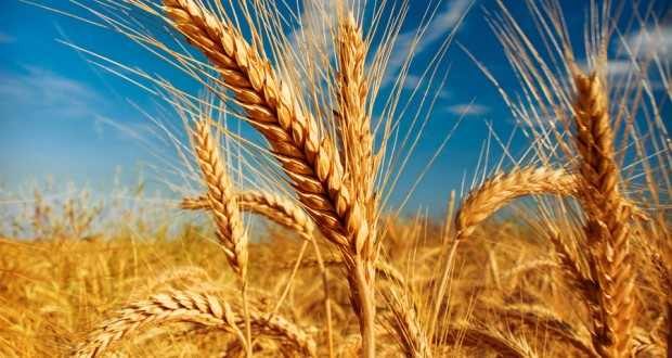 Barley Plantation in Uganda