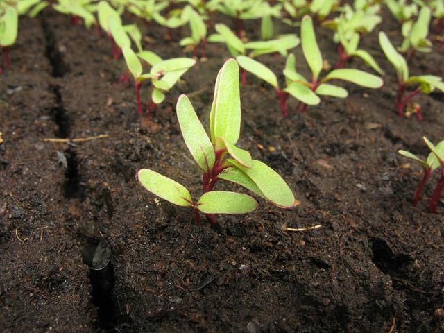 Beetroot Seedlings in Uganda
