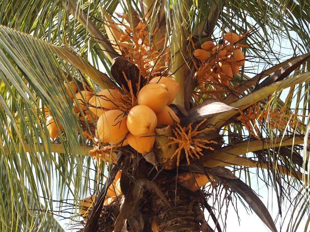 Coconut in Uganda