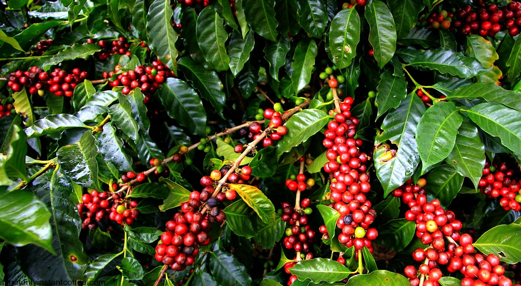 Coffee is Uganda's Leading Agricultural Export
