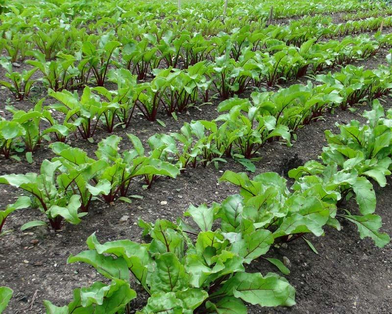 Beetrootinuganda on Plant Sprout