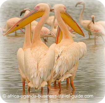 Uganda Bird Guides: The Great White Pelican