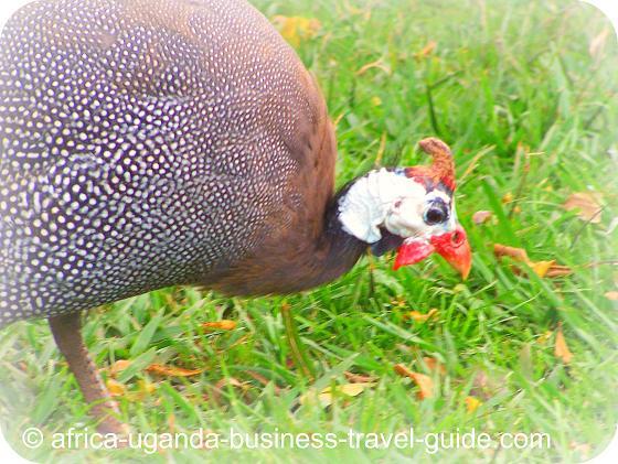Helmeted Guinea Fowl in Uganda