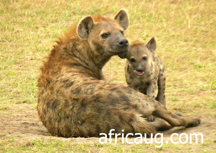 Mother Hyena and Baby at Queen Elizabeth National Park; Ishasa.   We saw these interesting Creatures at around 6pm as they got out of the Hyena's Den near Isasha Wilderness Camp Lodge.