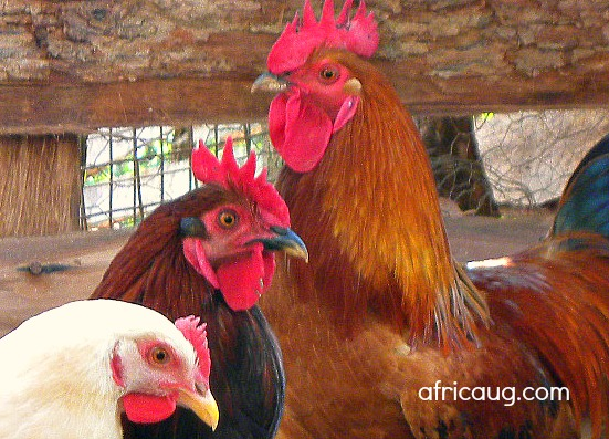 Kuroiler Poultry Farming Guide