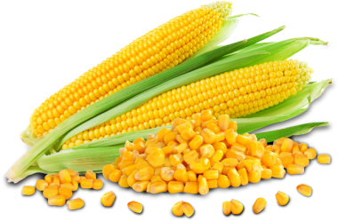 Maize Corn and Grains in Uganda