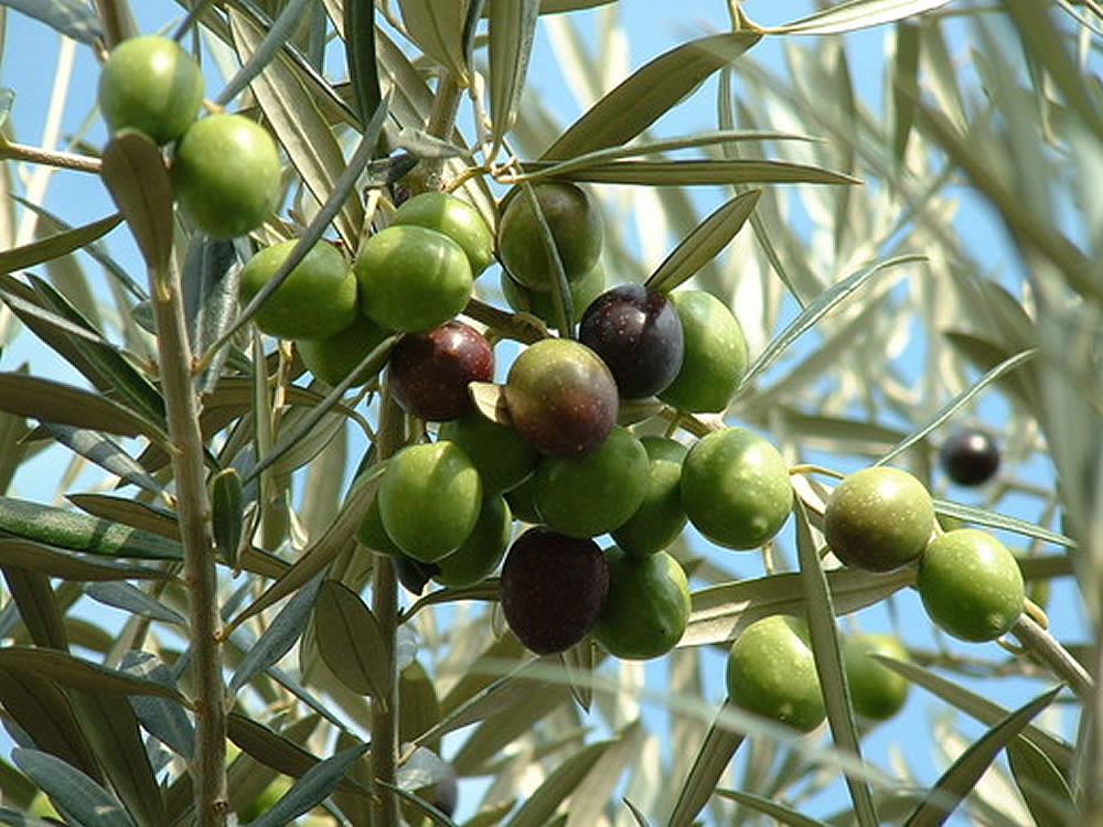 Olive Tree With Fruits In Uganda