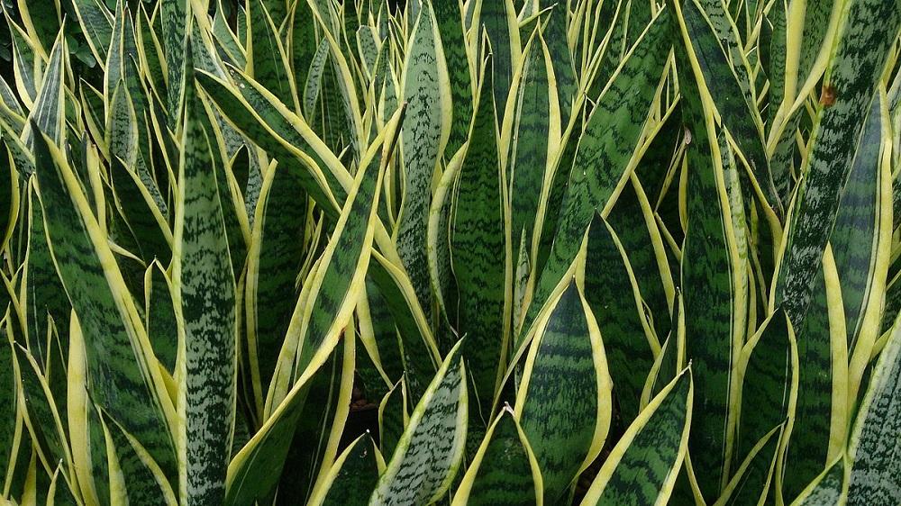 Snake plant in Uganda