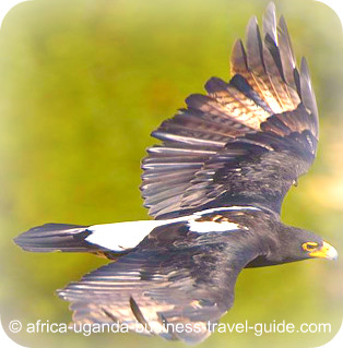 The Black Eagle in Africa