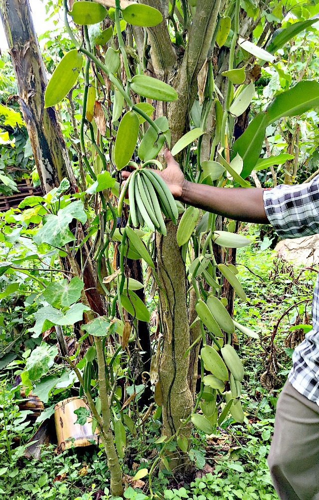 A vigorous Vanilla Vine with Green Vanilla Beans supported by Jatropha Trees on a Uganda Vanilla Plantation in Africa.