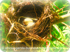 Uganda Bird Guides: Weaver Bird Eggs in Nest