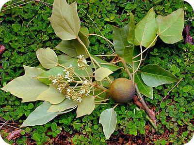 Aleurites moluccana (Candle nut-tree) Fruit in Uganda