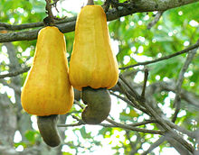 Cashew Nuts on Tree