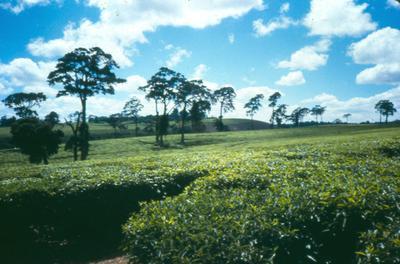 Photo/appearance <br>Aningeria adolfi-friedericii in Uganda