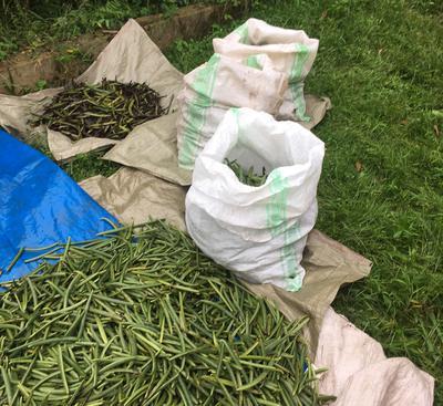 Uganda Vanilla Beans ready for Curing 2018