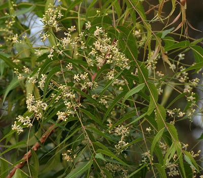 Azadiracha indica,  Nimtee leaves & fruits in Uganda, Africa