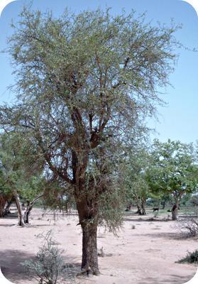 Balanites aegyptiaca (desert date) Tree in Africa