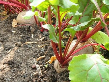 Beetroot in Uganda