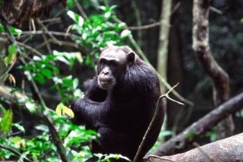 Chimpanzee at Budonga Forest Uganda