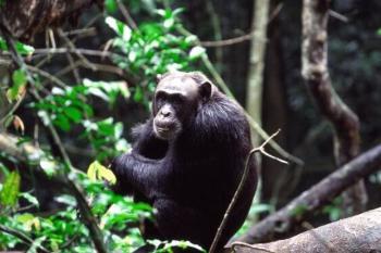 Chimpanzee at Budonga Forest Uganda