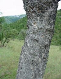 Combretum molle Tree , Uganda Africa