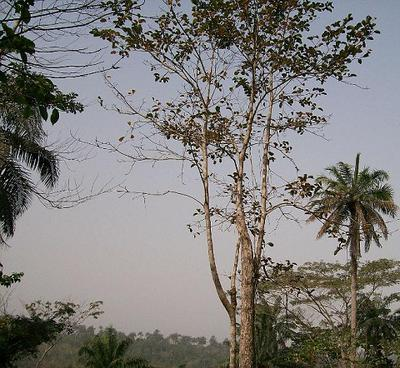 Cordia millenii tree in Africa