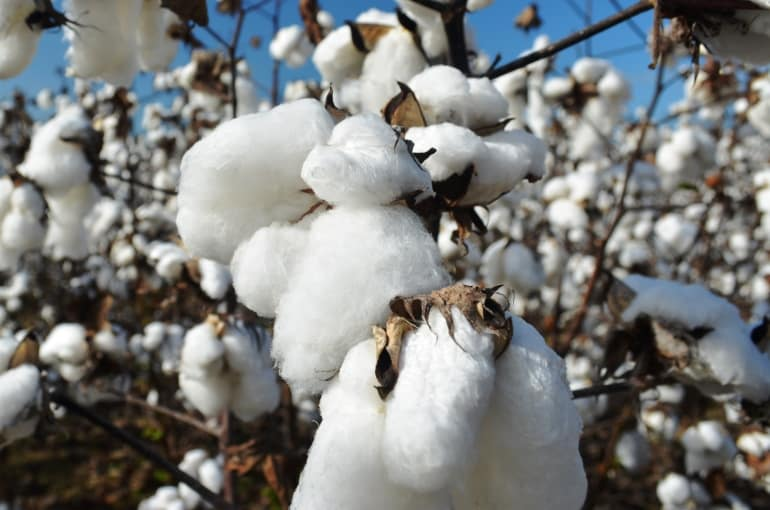 Cotton in Uganda