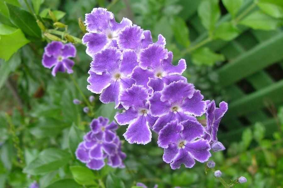 Duranta plant in Uganda