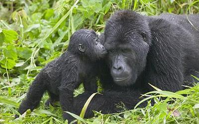 Mother's Love<br>Mountain Gorillas in East Africa