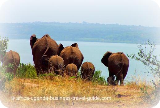 Elephants in a Uganda National Park, Africa