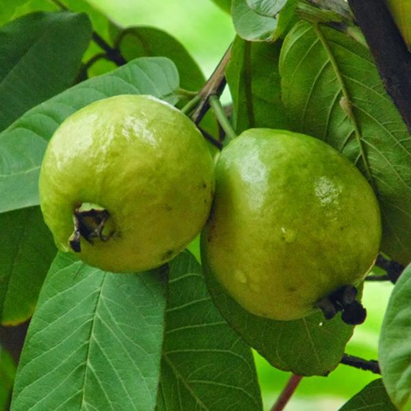 How To Grow Guavas In Uganda
