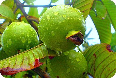Apple Guava on Tree, Uganda