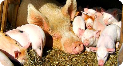 Commercial Pig Farming in Uganda, Africa