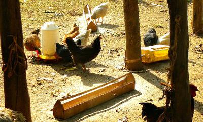 Adult Kroiler Chicken Feeding